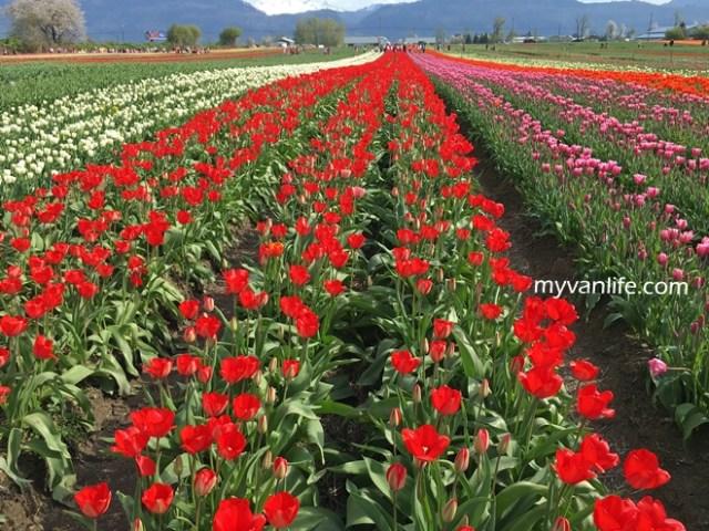 flowerRIMG_6623Abbostfordtulip