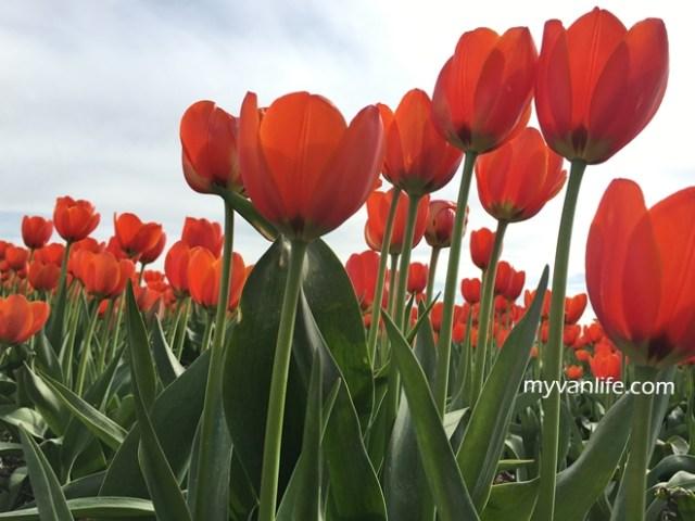 flowerRIMG_6633Abbostfordtulip