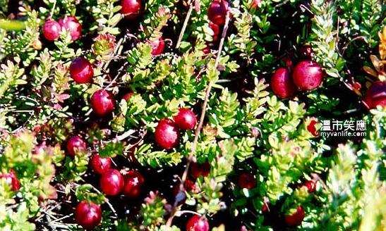 cranberryx_closeup