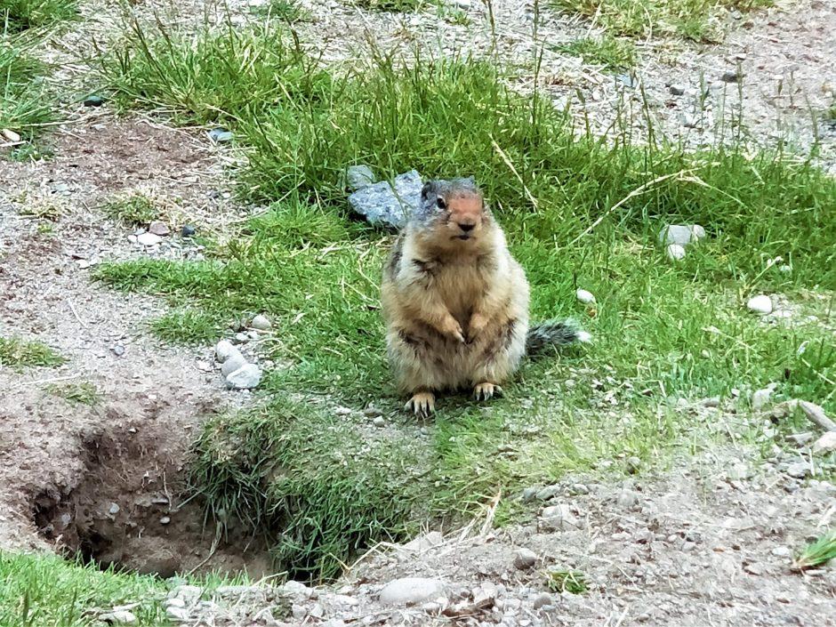 加拿大土撥鼠土撥鼠日