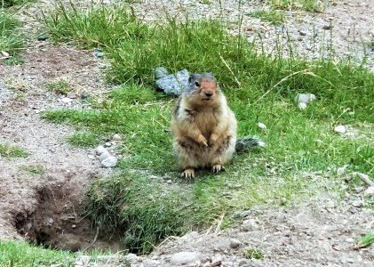 加拿大旅遊|天竺鼠請靠邊,今天是「土撥鼠日」