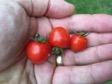 Tomato Micro Tom Index Page