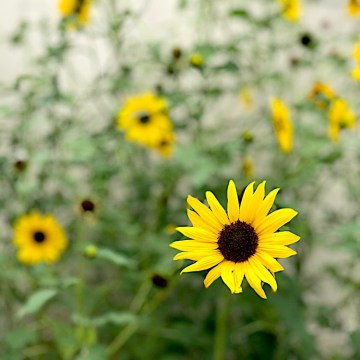 The Message Of The Sunflower