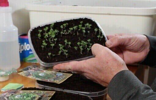low density microgreens