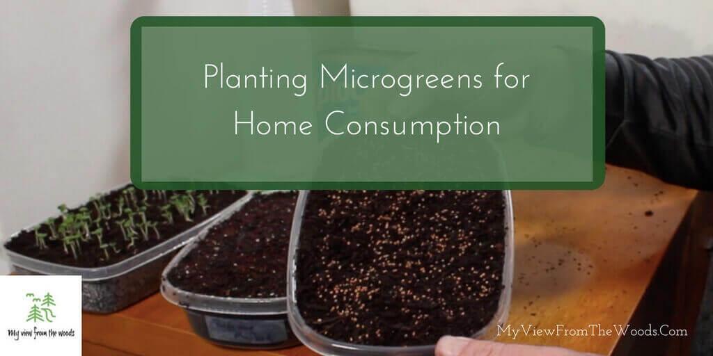 planting microgreens