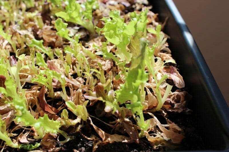 harvested lettuce growing back