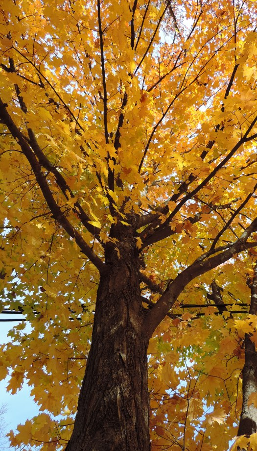 This maple is in its full golden glory.