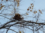 The bare trees give us the opportunity to see the nests that are hidden deep in green throughout the summer.