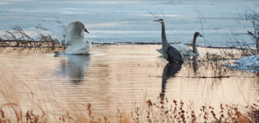 We make frequent visits to Riverlands Migratory Bird Sanctuary, on the Mississippi River, in West Alton. Missouri. There are many eagles along the river in January and February, but on this day we found this heron and a beautiful white swan.