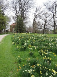 There are daffodils blooming everywhere...