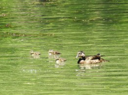 And perhaps you will be lucky enough to see a young family of wood ducks on the mill race.
