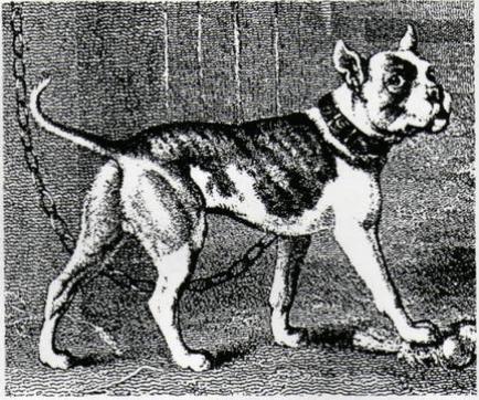 1803 bulldog
