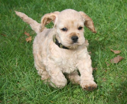 Dogs: American Cocker Spaniel is a breed of sporting dog