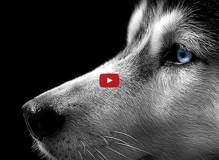 Dogs: Siberian Husky
