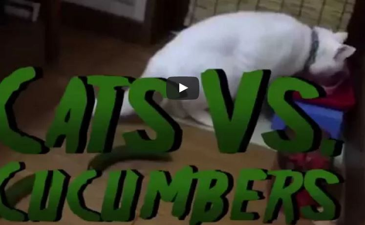 Cats vs Cucumbers