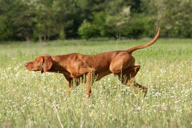 Breeders: The Vizsla Club of America