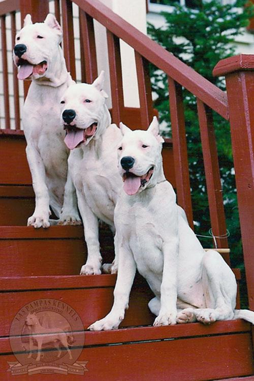 Breeder: Dogo Argentino