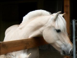Breeders: Norwegian Fjord Horse