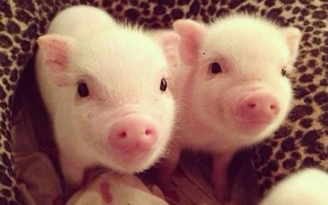 Cute mini Pigs video compilation