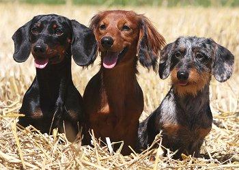Breeders: Dachshund