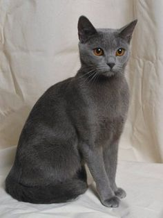 Breeders: Chartreux