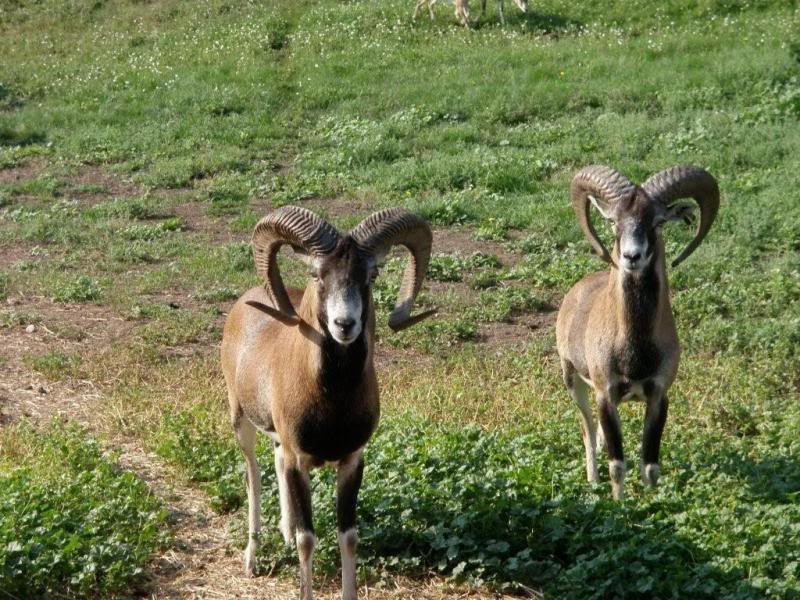 Breeders: Mouflon Sheep