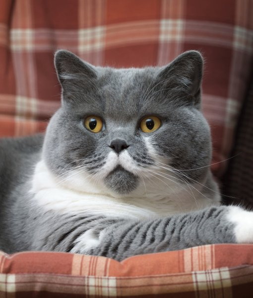 Breeders: British Shorthair