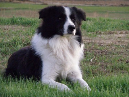 Breeders: Border Collie
