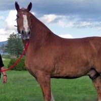 Breeders: Belgian Draft Horse