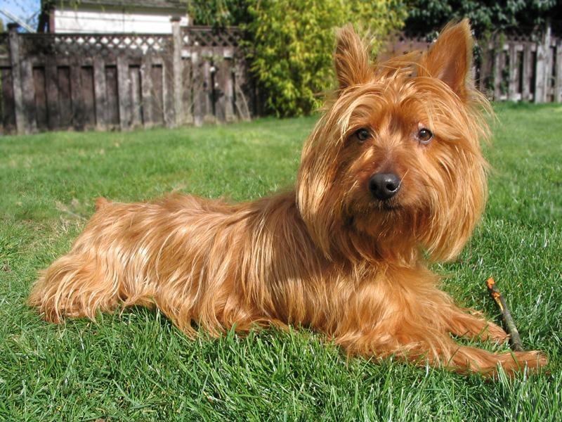 Breeders: Australian Terrier