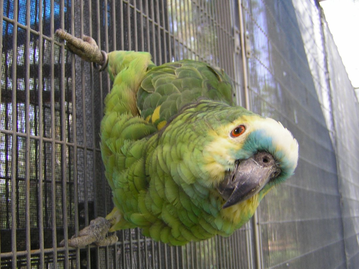 Breeders: Amazon Parrot