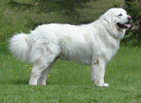 Breeders: Polish Tatra