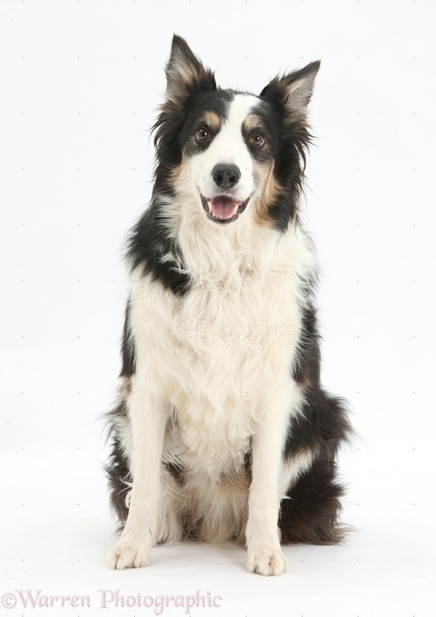 36720-Border-Collie-dog-sitting-white-background.jpg
