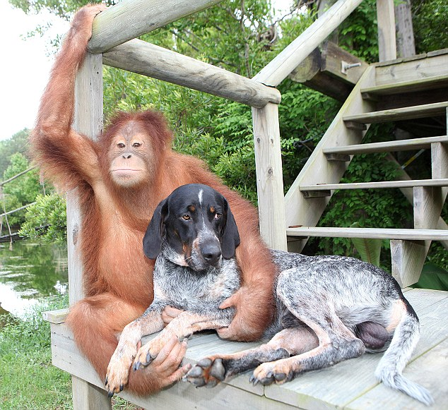 This unlikely friendship between an orangutan and a dog will melt your heart!