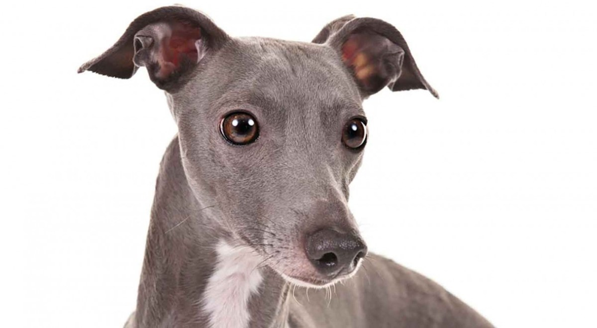 Breeders: Italian Greyhound