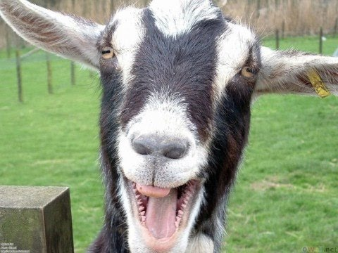 This Goats being weird will totally make you laugh!