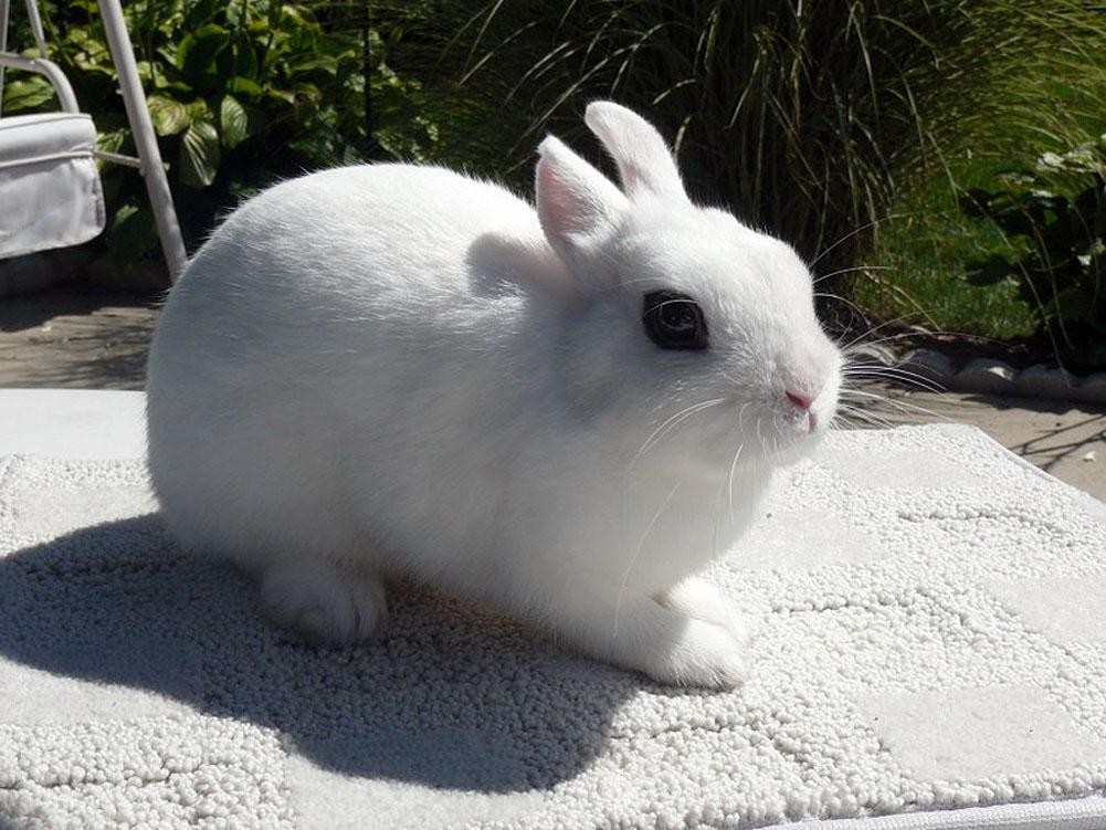 Breeders: Dwarf Hotot Rabbit