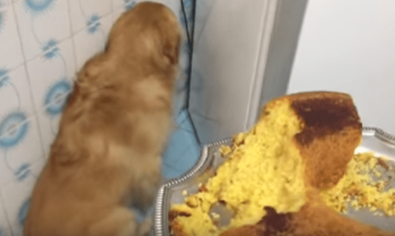 Dog Eats Cake And Faces The Shame