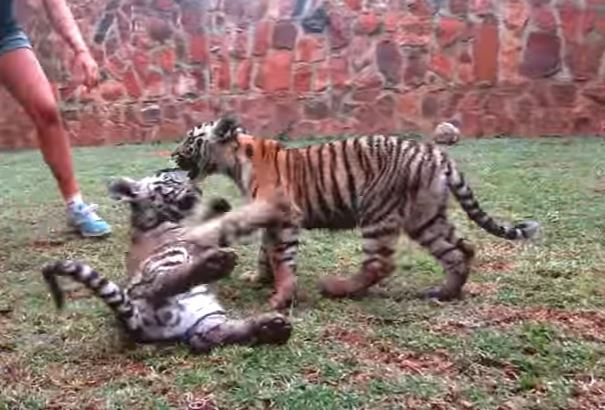 Tiger Cubs Attacking Eachother