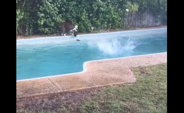 Dog Pretends To Drop Toy In Pool So Other Dog Jumps In!