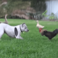 Gallic Rooster History & Pit Bull Sharky the Bodyguard Dog VS Mr. Rooster ATTACKS