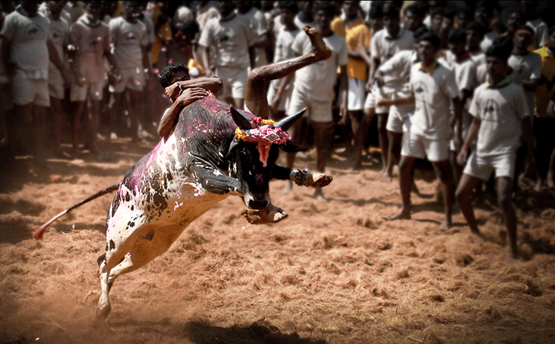 Billion dollar milk industry vs Jallikattu