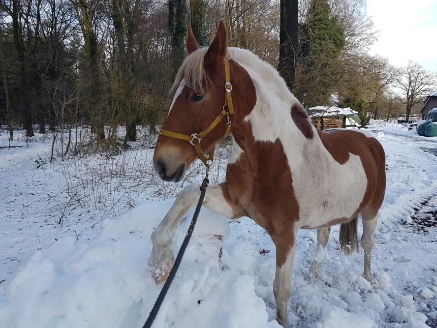 Sneeuw grondwerk paard