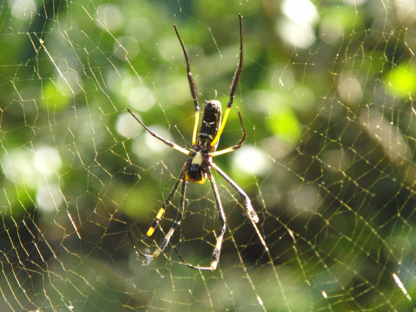 yellow orb weaver spin zuid afrika