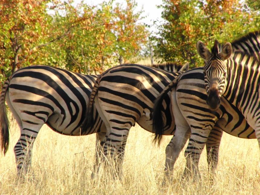Kaapstad naar Johannesburg zuid afrika zebra's