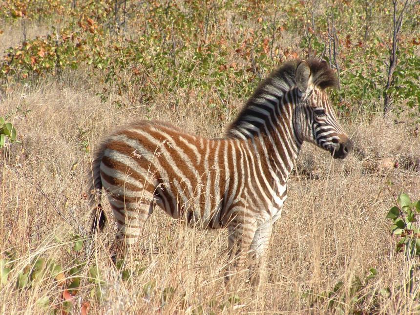 Kaapstad naar Johannesburg Zuid Afrika baby zebra