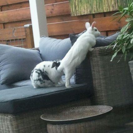 twee konijnen ontsnapt