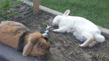 twee slapende konijnen in de tuin
