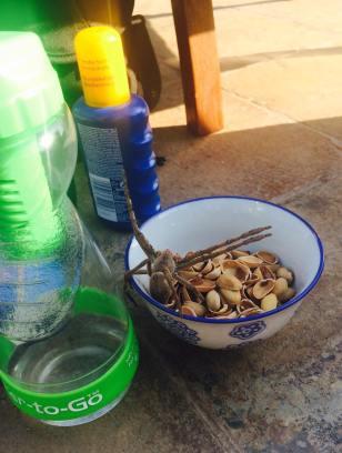 baviaanspin in eten Zuid Afrika