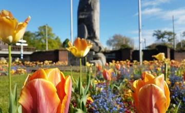closeup tulpen Arnhem